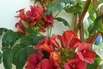 Amerikanische Klettertrompete 'Stromboli' - Campsis radicans 'Stromboli'