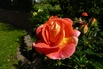 <c:out value='Beetrose 'Gebrüder Grimm' ® / Joli Tambour ® - Rosa 'Gebrüder Grimm' ® / Joli Tambour ®  ADR-Rose' />