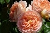 <c:out value='Englische Rose 'Abraham Darby' ® - Rosa 'Abraham Darby' ®' />
