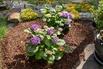 Ballhortensie 'Diva fiore' ® (Blau) - Hydrangea macrophylla 'Diva fiore' ® (Blau)