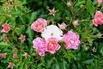 Beetrose / Bodendecker-Rose 'Maxi Vita' ® - Rosa 'Maxi Vita'  ®