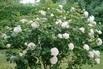 <c:out value='Beetrose 'Lions-Rose'  ®        ADR-Rose - Rosa 'Lions-Rose' ®  ADR-Rose' />
