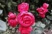 <c:out value='Beetrose 'Pomponella' ® - Rosa 'Pomponella' ® ADR-Rose' />
