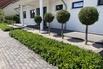 Bodendecker Kirschlorbeer 'Mount Vernon' - Prunus laurocerasus 'Mount Vernon'