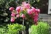 Bodendecker-Rose 'Heidetraum' ® - Rosa 'Heidetraum' ®