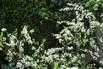 Brautspiere / Schneespiere - Spiraea arguta