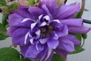 <c:out value='Clematis 'Mazury' - Clematis 'Mazury'' />