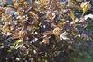 <c:out value='Dunkelrote Blasenspiere 'Diabolo'  ® - Physocarpus opulifolius 'Diabolo'  ®' />
