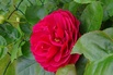 Edelrose 'Ascot' ® - Rosa 'Ascot' ®