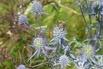 Flachblatt-Mannstreu - Eryngium planum