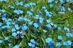 <c:out value='Frühlings-Gedenkemein - Omphalodes verna' />