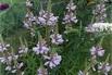 <c:out value='Gelenkblume 'Rosea' - Physostegia virginiana 'Rosea'' />