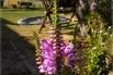 Gelenkblume 'Summerspire' - Physostegia virginiana 'Summerspire'