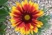 Großblumige Kokardenblume 'Fackelschein' - Gaillardia x grandiflora 'Fackelschein'