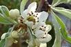 Hängende Wildbirne 'Pendula' - Pyrus salicifolia 'Pendula'