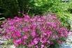 Heide-Nelke 'Brillant' - Dianthus deltoides 'Brillant'