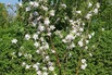 Herbstapfel 'Pidi' - Malus 'Pidi'