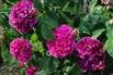 Historische Rose 'Charles de Mills' - Rosa 'Charles de Mills'