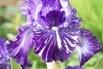 Hohe Schwertlilie 'Batic' - Iris x barbata-elatior 'Batic'