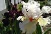 <c:out value='Hohe Schwertlilie 'Nordica' - Iris x barbata-elatior 'Nordica'' />