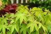 <c:out value='Japanischer Fächerahorn 'Osakazuki' - Acer palmatum 'Osakazuki'' />
