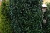 Kirschlorbeer / Lorbeerkirsche 'Genolia' ® - Prunus laurocerasus 'Genolia' ®