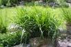 Palmwedel Segge - Carex muskingumensis