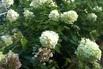 Rispenhortensie 'Limelight' - Hydrangea paniculata 'Limelight'