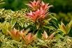 Schattenglöckchen 'Little Heath' - Pieris japonica 'Little Heath'