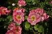 <c:out value='Strauchrose 'Herzogin Friederike' ® - Rosa 'Herzogin Friederike' ®' />