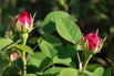 <c:out value='Strauchrose 'Rose de Resht' - Rosa 'Rose de Resht'' />