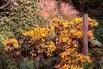 <c:out value='Strauß-Goldkolben 'Britt-Marie Crawford' ® - Ligularia dentata 'Britt-Marie Crawford' ®' />