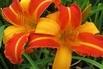 Taglilie 'Frans Hals' - Hemerocallis x cultorum 'Frans Hals'