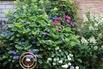 Tellerhortensie Endless Summer ® 'Twist-n-Shout' (Blau) - Hydrangea macrophylla Endless Summer ® 'Twist-n-Shout' (Blau)