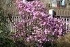 Vorfrühlings-Alpenrose 'Praecox' - Rhododendron 'Praecox'