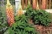 Lupine Westcounty-Serie 'Gladiator' - Lupinus polyphyllus Westcounty-Serie 'Gladiator'
