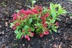 Zwerg-Weigelie 'All Summer Red' ® - Weigela florida 'All Summer Red' ®