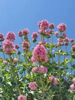 Centranthus ruber Albus Wei/ßbl/ühende Spornblume im 0,5 Liter Topf wei/ß bl/ühend