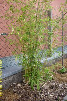 Riesenbambus / Grünrohr Bambus - Phyllostachys bissetii