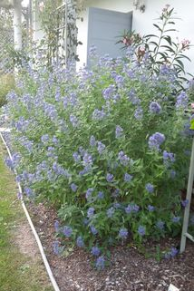 Bartblume 'Blue Balloon' ® - Caryopteris clandonensis 'Blue Balloon' ®