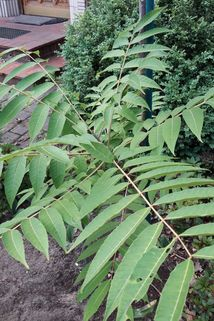 Chinesischer Surenbaum - Toona sinensis