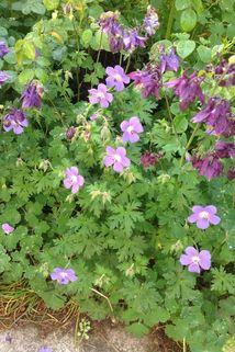 Clarkes Storchschnabel 'Kashmir Blue' - Geranium clarkei 'Kashmir Blue'