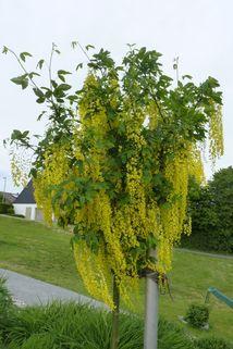 Edelgoldregen 'Vossii' auf Stamm - Laburnum watereri 'Vossii' Stamm