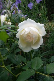 Englische Rose 'Claire Austin' - Rosa 'Claire Austin'
