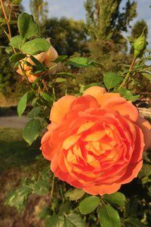 Englische Rose 'Lady of Shalott' - Rosa 'Lady of Shalott'