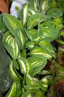 Funkie 'Pandoras Box' - Hosta x cultorum 'Pandoras Box'