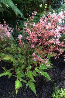 Kleine Prachtspiere 'Inshriach Pink' - Astilbe simplicifolia 'Inshriach Pink'