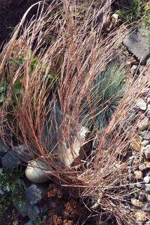Kleines Präriegras 'Blaze' - Schizachyrium scoparium 'Blaze'