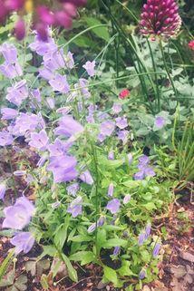 Niedliche Glockenblume 'Blue Baby' - Campanula cochleariifolia 'Blue Baby'