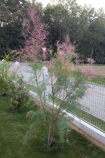 Sommertamariske 'Rubra' - Tamarix ramosissima 'Rubra'